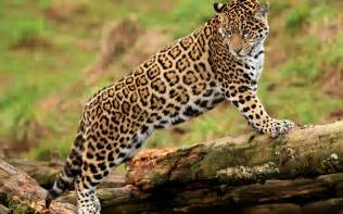 Photo Of Jaguar Jaguar Hd Wallpaper And Background 2560x1600 Id