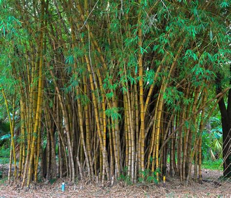bamboo plants quotes quotesgram
