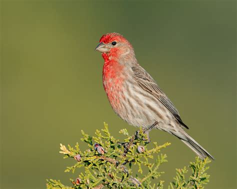 finches house house finch 5
