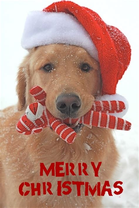funny pets  christmas quotations  quotes