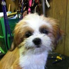 is a shih tzu a hypoallergenic non shedding dogs on shih tzu poodles and shih tzu