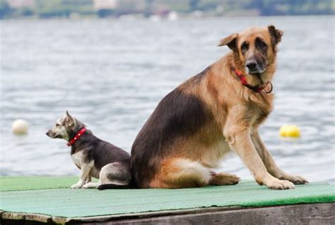 how big is a dogs brain do large dogs larger brains and higher intelligence
