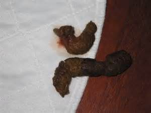 blood in stool page 6 maltese dogs forum spoiled