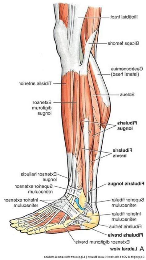 leg muscles diagram human leg anatomy diagram anatomy of the lower leg muscles