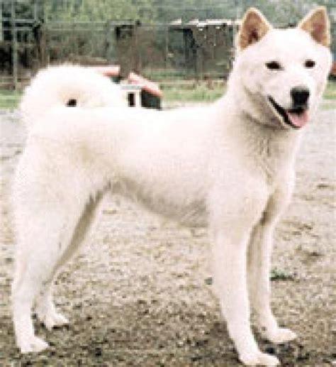 jindo puppies jindo pics dogbreedworld