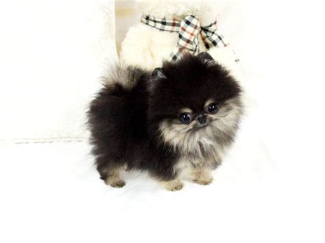 teacup pomeranian calgary 17 best images about puppies on pomeranian puppy puppys and micro teacup