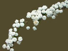 Baby S Breath Flowers Baby S Breath Flowers And Gardens Pinterest Babies Breath Babies And Bouquets