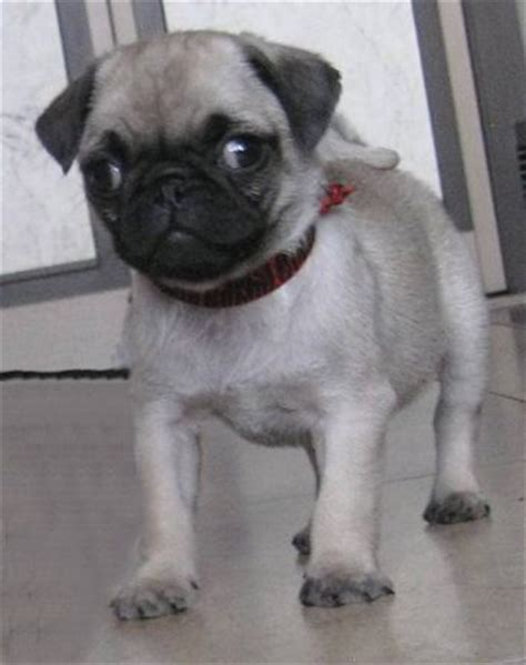 pug colors silver fawn silver fawn pug puppies precious pugs gallery