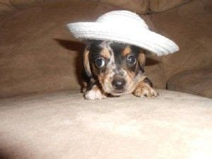 chiweenie puppies for sale in ohio 1000 images about baby animals on