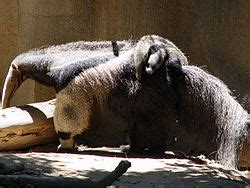 giant anteater wikipedia
