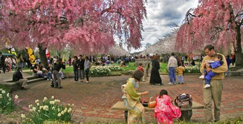 cherry blossom festival philadelphia s annual cherry blossom festival blooms