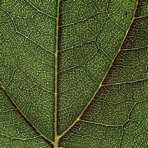 leaf pattern wiki file sunflower leaf structure jpg wikimedia commons