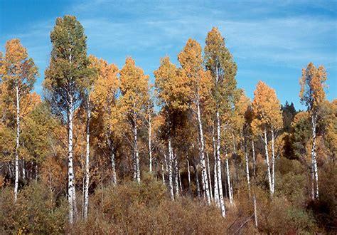 botany   birch  aspen trees biology stack exchange