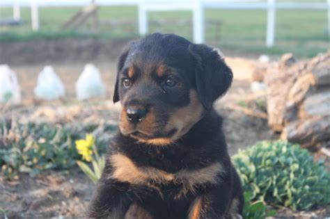rottweiler breeders in md 17 best images about rottweiler puppies for sale in pa on rottweiler