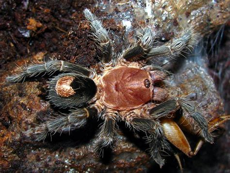 Cyriopagopus Sp Hati Hati Tarantula Size 3cm rozzer s tarantulas awesome website for buying