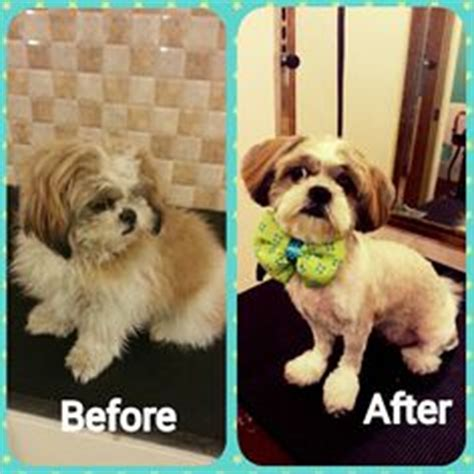 before and after pics of yorkie haircuts repinned shih tzu puppy before and after quot before