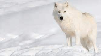 Wolf Wolf Arctic Wolf Help Change The World The Future Of The