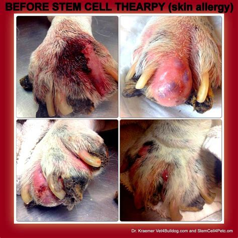 symptoms of allergies in dogs stem cell therapy for skin allergy in dogs and cats pet s