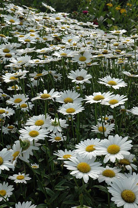 becky shasta daisy leucanthemum  superbum becky