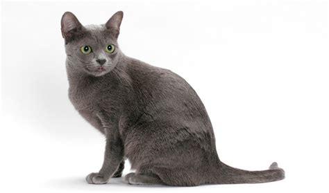 Bluish Grey by Korat Cat Breed Information