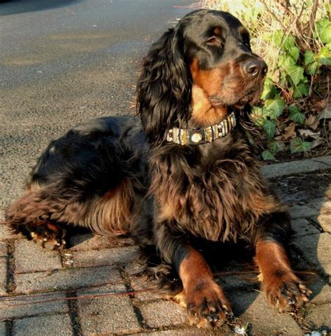gordon setter rescue dogs uk help me choose another dog 171 singletrack forum