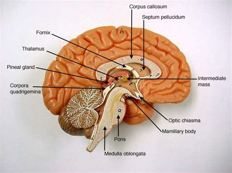 brain sections labeled 17 best images about anatomy brain on pinterest