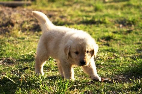 golden retriever teething age at what age do newborn puppies walk cuteness