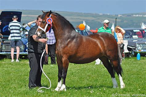 welsh section c welsh section c mare cardigan county show ceredigion
