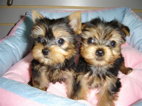 miniature yorkie poo puppies for sale empire puppies