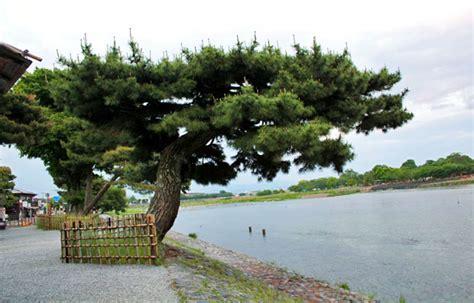 Japanese Blossom Tree arashiyama bamboo groves a stroll through another world