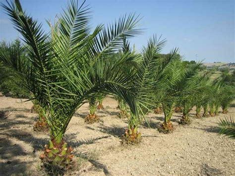 piante palme da giardino come coltivare alberi esotici gli alberi ecco come