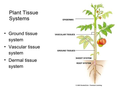 vascular tissue diagram diagram of a vascular plant gallery how to guide and