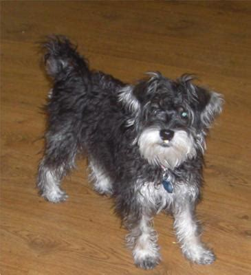 pictures miniature schnauzer with long hair dog breeds you want topics on exotic domestic farm