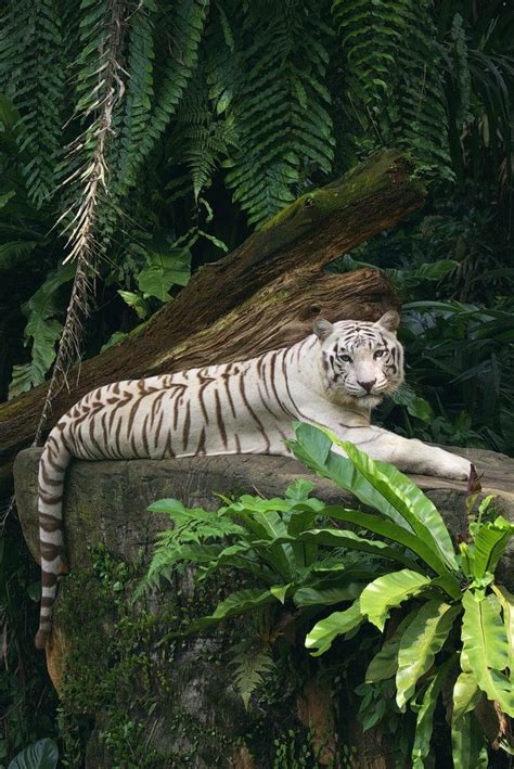 top 25 ideas about tiger on white white tiger in the jungle www pixshark images