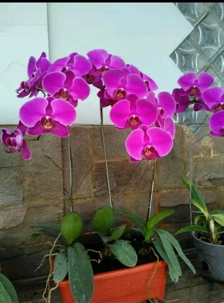 Tanaman Anggrek Bulan Koleksi 5 jual bunga anggrek bulan berbunga warna ungu polos di