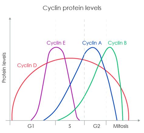2 proteins that regulate the cell cycle target cyclins that regulate the cell cycle abcam