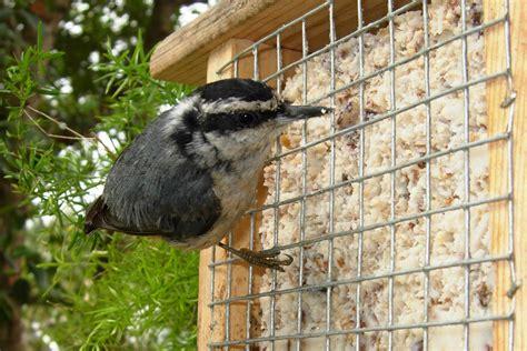 birds eat suet    attract