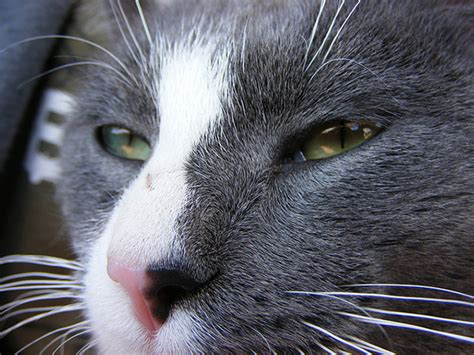 cat nose 8 interesting facts about your cat s nose and sense of