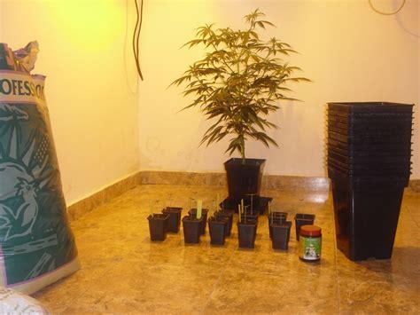 autofloreciente interior cultivo extremo de autoflorecientes en interior