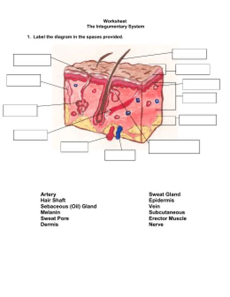 Integumentary System Worksheet Answers by Worksheet The Integumentary System Answer Key