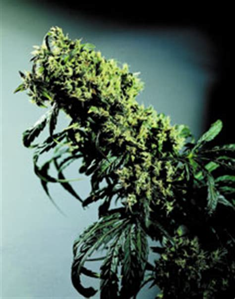 northern lights 5 x haze feminised seeds sensi seeds northern lights no 5 x haze cannabis seeds sensi seeds