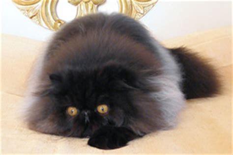 allevamento gatti persiani roma allevamenti in italia gattipersiani it gatti persiani