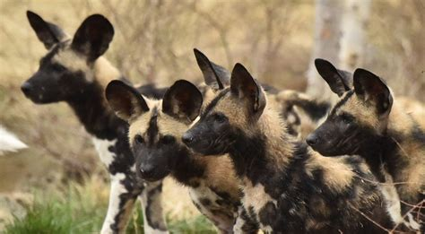painted dogs meet the oldest canine on earth the painted