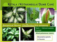 Poison plants - forensic medicine and toxicology Manioc Root Poison