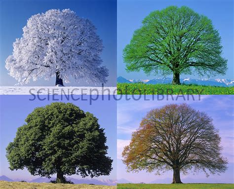 libro tree seasons come seasons linden tree in four seasons stock image c017 3278 science photo library