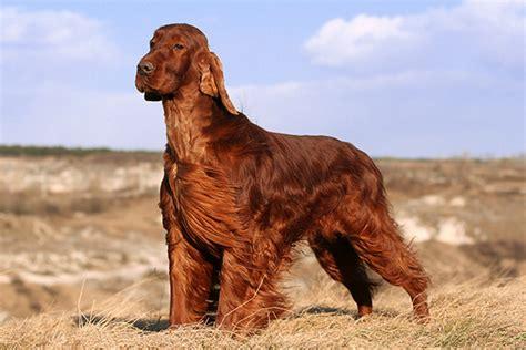 irish setter dog food breed profile irish setter gilbertson and page dog