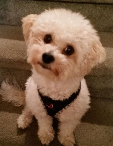 1000 images about doggy doos on pinterest poodles shih 1000 images about maltipoo maltepoo maltese poodle on