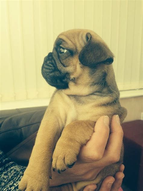frug puppies frug puppies for adoption breeds picture