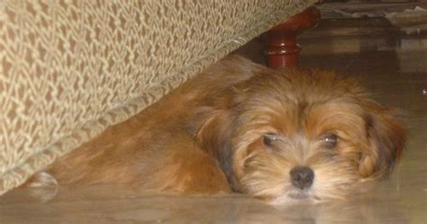 yorkie apso yorkie apso information and pictures yorkie apso m5xeu breeds picture