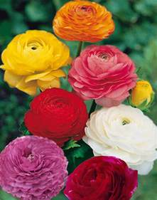 ranunculus flowers ranunculus mix for sale buy for 163 1 99